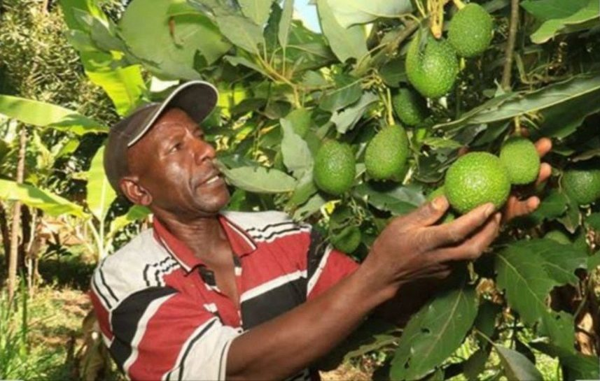 Hass Avocado Farming